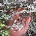 Tradescanthia cascades thumbnail