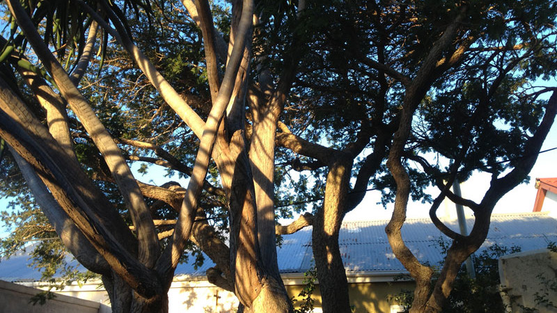 A tree aloe and Acacia Karoo stand together catching afternoon light