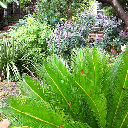 Cycas Revoluta, Japanese Cycad is pretty and less thorny than our local Cycads