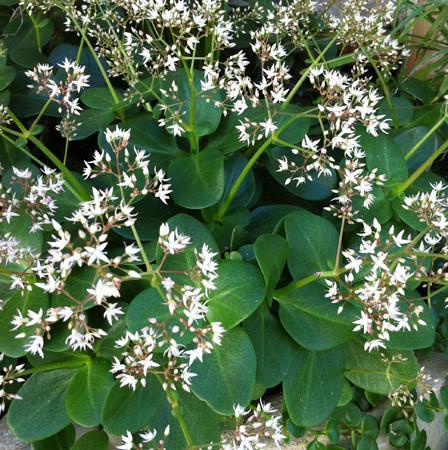 Indigenous Crassula Multicava in flower