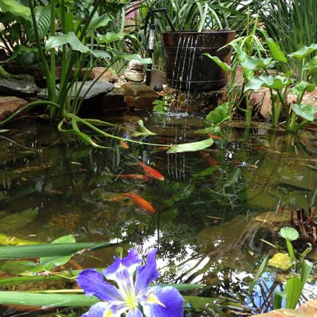 Koi Pond with water Iris and Oak barrel fountain