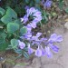 Plectranthus flowering thumbnail