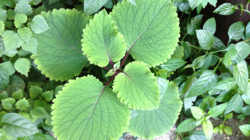 Shade plants in this case Plectranthus Zuluensis