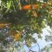 Koi reflections thumbnail