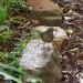 Olive thrush on the hunt thumbnail