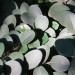 The leathery leaves of the  aasvoelbessie tree thumbnail
