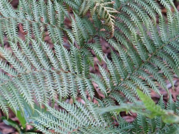 Tree fern frond