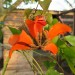 Coral tree flower thumbnail