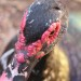 Muscovy male duck thumbnail