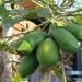 Green papaya thumbnail