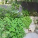 Pelargonium Tomentosum over sandstone retaining thumbnail