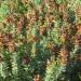 Salvia Africana Lutea thumbnail