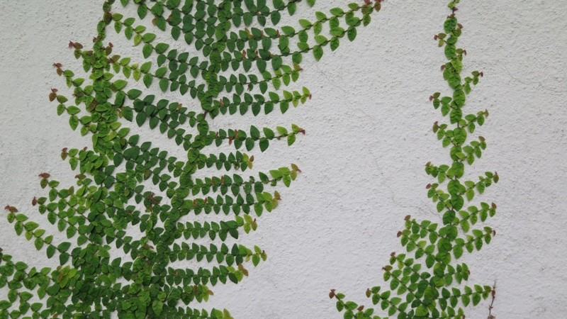 Japanese fig climbers on the walls