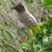 Cape Bulbul in murraya exotica thumbnail