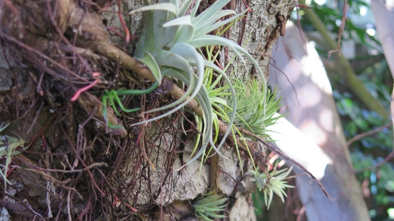 Tillantsias need to be secured into place at first