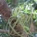 Tillantsias grow very slowly! thumbnail