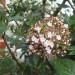 Viburnums in flower thumbnail