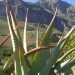 Our Aloe project is at the foot of the Drakenstein mountains outside Paarl thumbnail