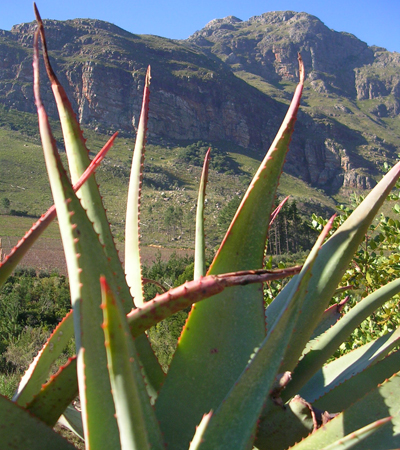Our Aloe project is at the foot of the Drakenstein mountains outside Paarl