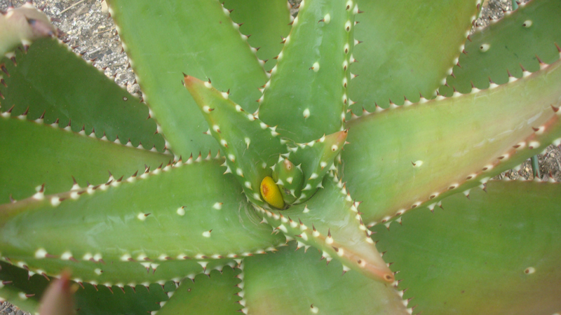 A flower emerging from a young Aloe Ferox