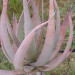Tilt head Aloe from the banks of the breeded river thumbnail