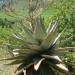 Aloe Marlottii thumbnail