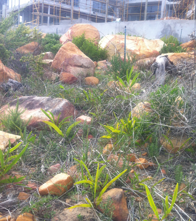 Beautiful boulders with alien Wattle sprouting everywhere, follow up was requied
