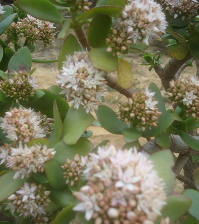 Crassula Ovata in flower