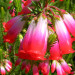 Erica regia in full bloom thumbnail