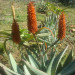 A young Aloe Ferox in flower thumbnail