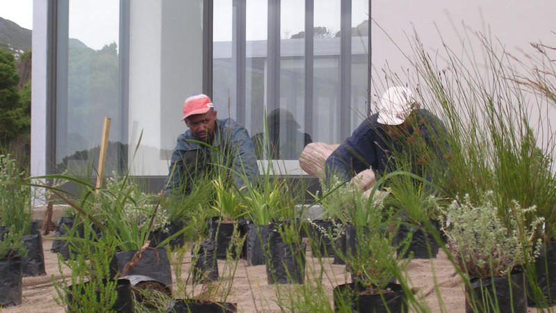 Planting the roof of the Fynbos house
