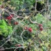 Weeping Boerbean in flower thumbnail