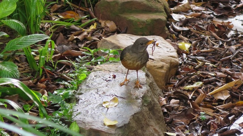 Olive thrush on the hunt