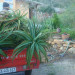 Tree Aloes on the move thumbnail