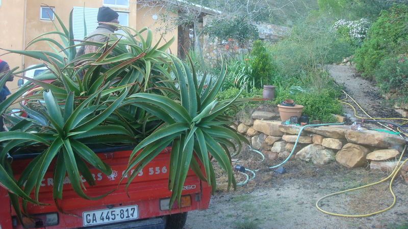 Tree Aloes on the move