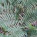 Tree fern frond thumbnail