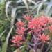 Aloe Striata inflorescens thumbnail