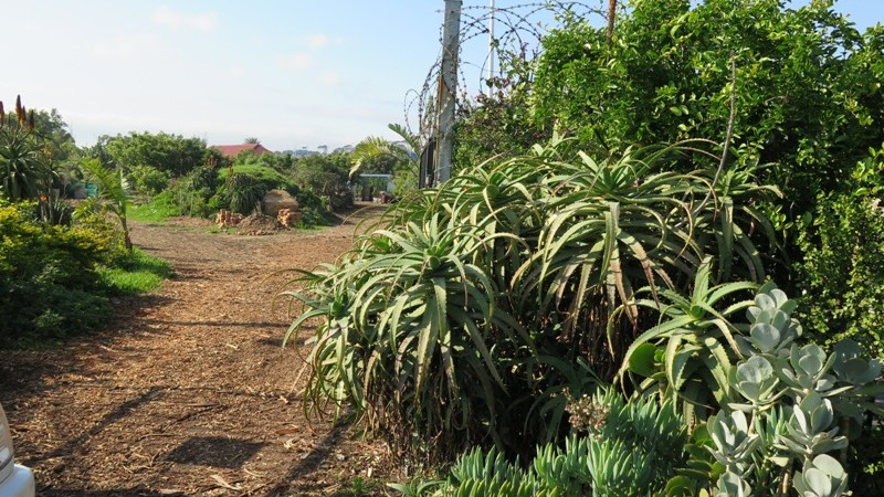 Aloes at he entrance to the garden