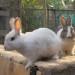 Mummy bunnies thumbnail