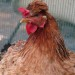 Chickens are beautiful thumbnail