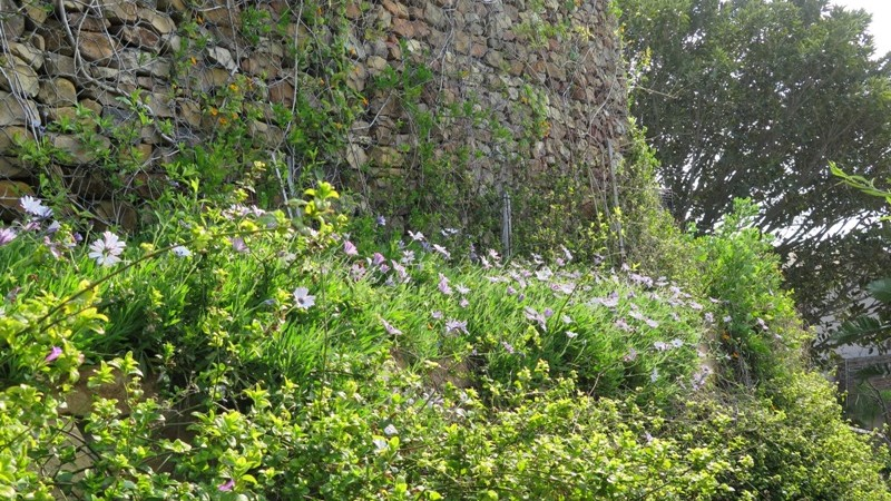 Indigenous plants and climbers ramping up the gabions