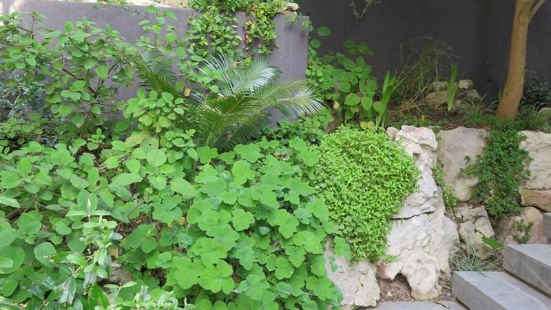 Pelargonium Tomentosum over sandstone retaining
