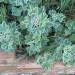 Pelargonium tomentosum thumbnail