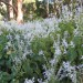 Plectranthus eklonii White thumbnail