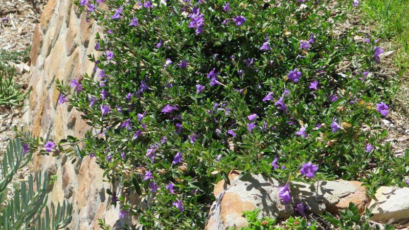cascading Barleria Purple Prince