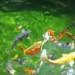 Young fish thumbnail